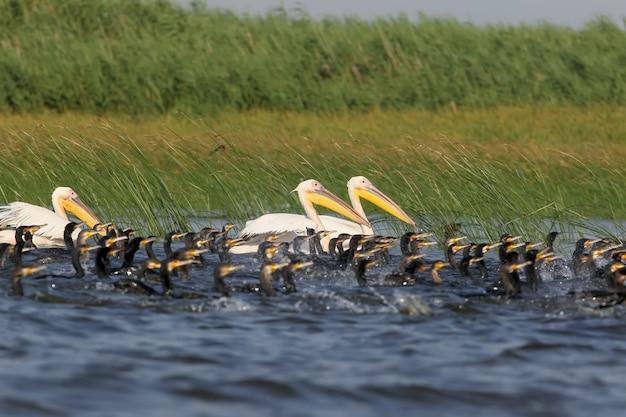 Uno stormo di pellicani e grandi cormorani pescano insieme nelle acque poco profonde del danubio.