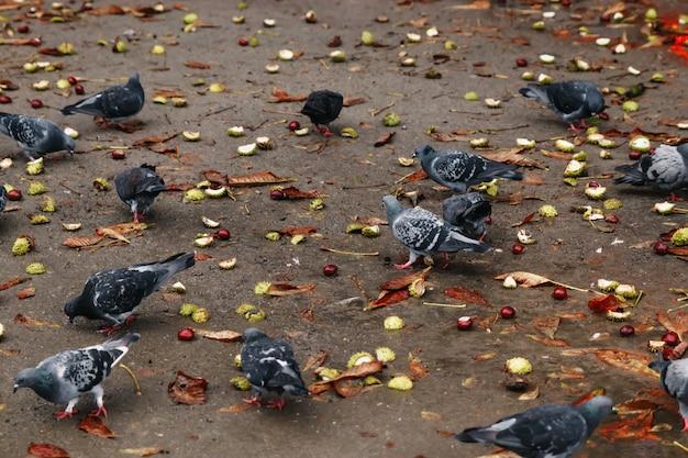 Uno stormo di piccioni su terra marrone becca grano, ricerche