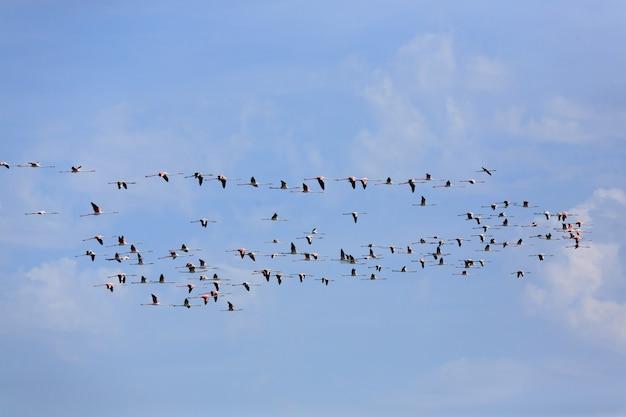 Stormo di fenicotteri rosa in volo, dal