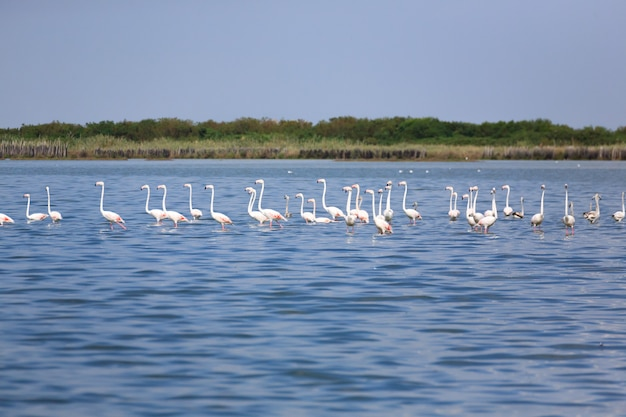 Stormo di fenicotteri rosa in acqua, dal