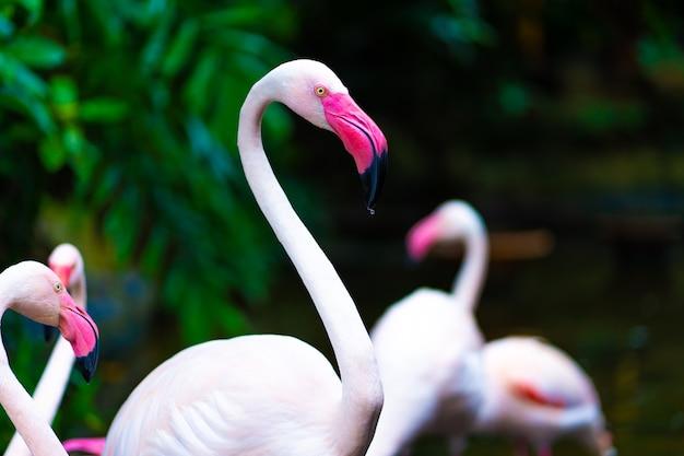 Stormo di fenicotteri rosa nello stagno dello zoo.