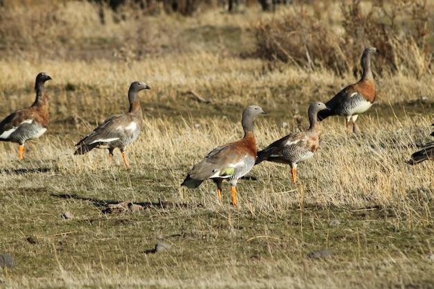 Flock of royal cauquenes, proviene da una famiglia di anatre e si può vedere nelle praterie.