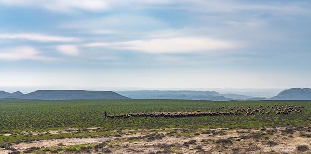 Un gregge di pecore al pascolo su un altopiano