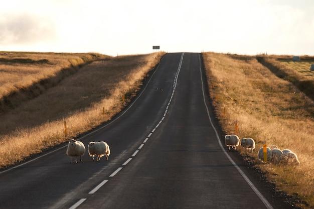 Gregge di pecore in autostrada