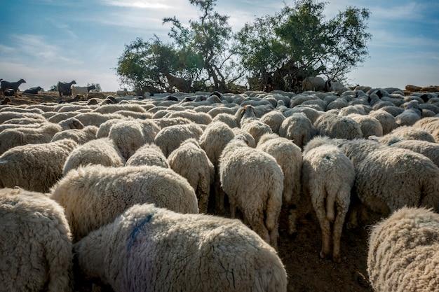 Un gregge di pecore in india