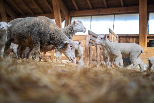 Gregge di pecore e agnelli in gruppo che mangia alla fattoria.