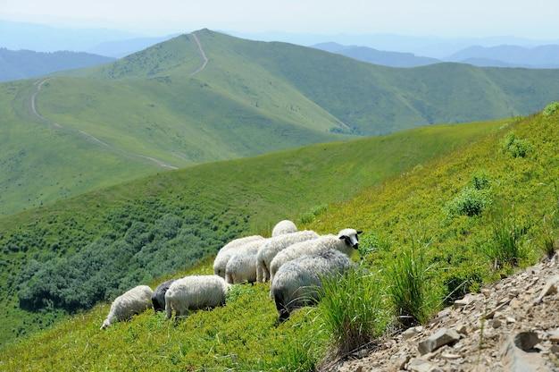 Gregge di pecore in una valle di montagna