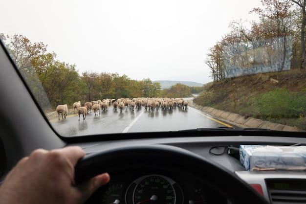 Gregge di pecore sulla strada