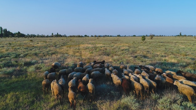 Un gregge di pecore corre tra l'erba secca