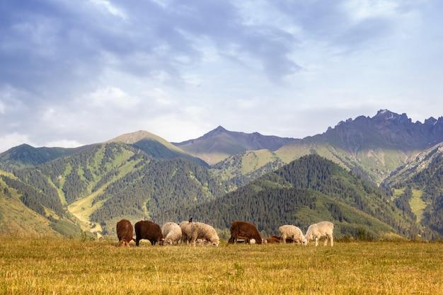 Gregge di pecore sulle montagne del kazakistan.