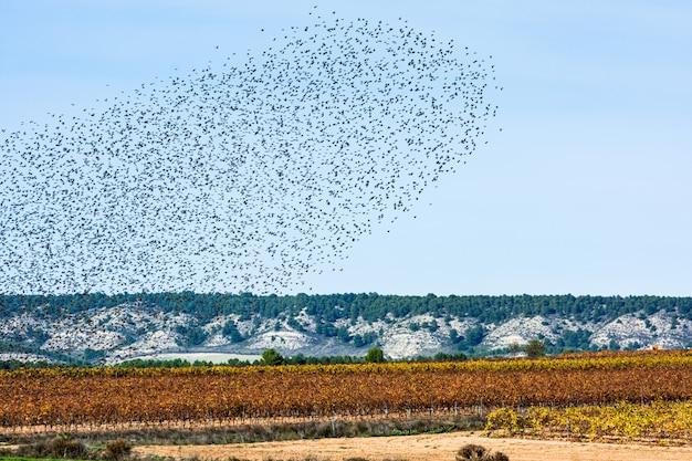 Stormo di storni in migrazione, cielo e terra