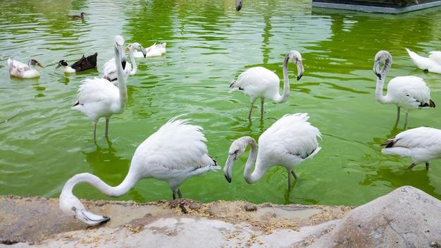 Stormo di fenicotteri bianchi in stagno in diverse attività. molti fenicotteri bianchi sullo stagno nel parco