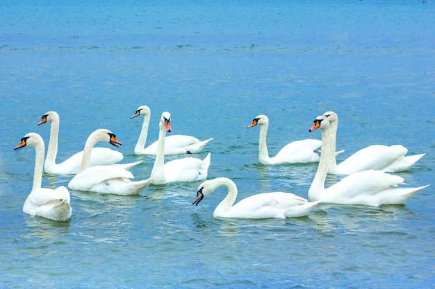 Stormo di cigni bianchi nuota nel mare