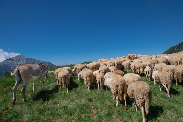 Gregge di pecore con asino nel pascolo di montagna