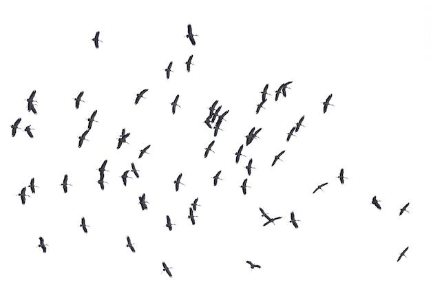 Stormi di uccelli in volo isolati su bianco. percorso di residuo della potatura meccanica.