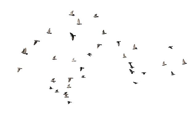 Stormi di piccioni volanti isolati su bianco. percorso di residuo della potatura meccanica.