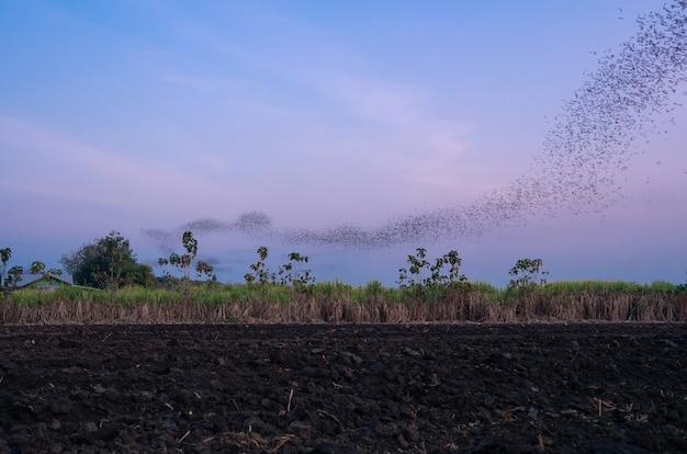 Flog di pipistrelli sorvolano il campo agricolo in cerca di cibo in silhouette serale sul cielo al crepuscolo