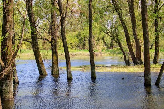 Tronchi di alberi allagati durante l'alluvione primaverile