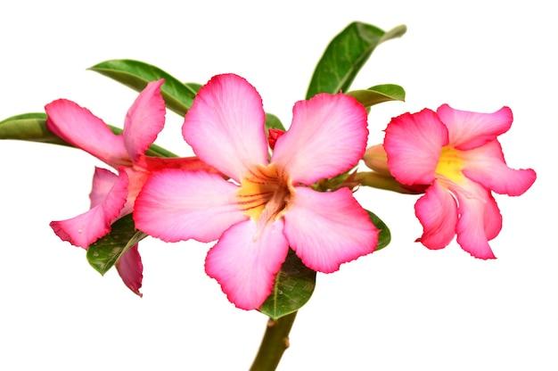 Sfondo floreale. primo piano di adenium rosa fiore tropicale. rosa del deserto su sfondo bianco.