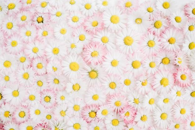 Motivo floreale composto da fiori margherita camomilla bianchi e rosa