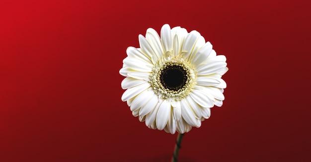 Insegna del fiore su un fondo rosso, foto macro della margherita bianca della gerbera di una composizione della testa di fiore e dello spazio della copia o del modello, foto del modello
