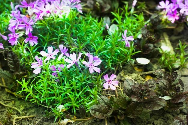 Aiuola con fiori viola in fiore