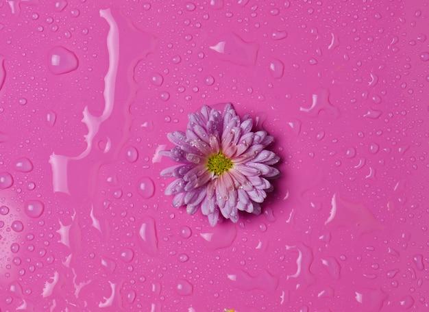 Un fiore di crisantemo con petali di rosa in gocce d'acqua su uno sfondo rosa. vista dall'alto.