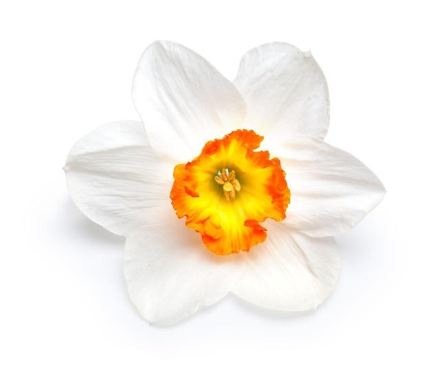 Fiore di un narciso con un centro giallo isolato su uno sfondo bianco.con percorso di ritaglio