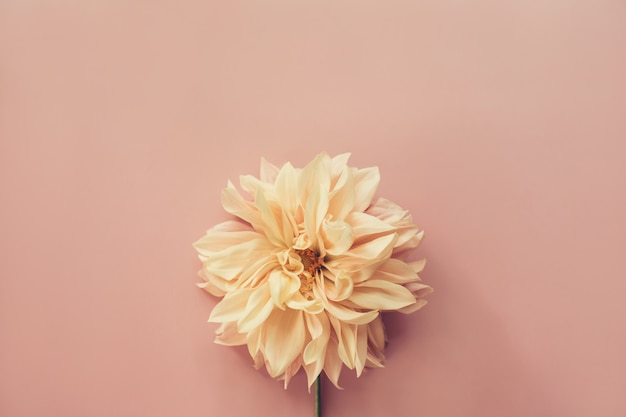 Flower dahlia cafe au lait su sfondo rosa. composizione di fiori minima. appartamento laico, vista dall'alto, copia dello spazio. estate, concetto di autunno.