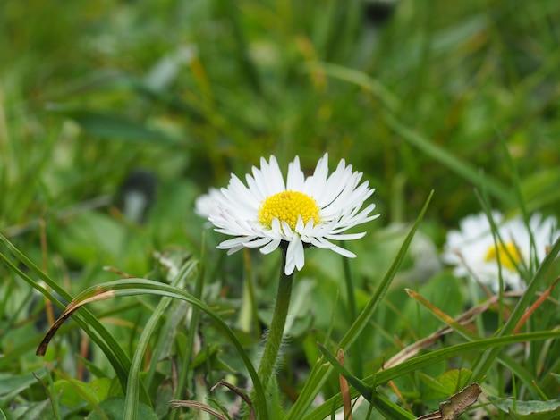Flower daisy perenne bianco da vicino su uno sfondo di erba verde