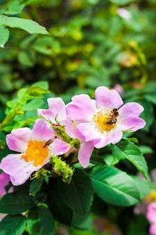 Fiore del primo piano della rosa canina con un'ape che raccoglie nettare su
