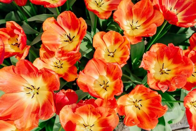 Campo di fiori con tulipani colorati. parco keukenhof