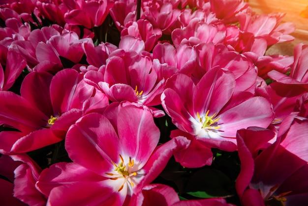 Campo di fiori con tulipani colorati. tulipa domino.
