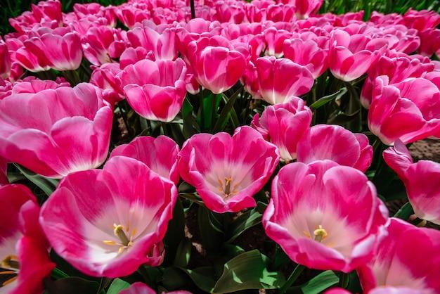 Campo di fiori con tulipani colorati. tulipa innuendo.