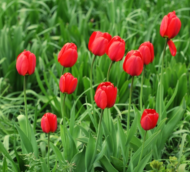 Giardino fiorito con tulipano da vicino