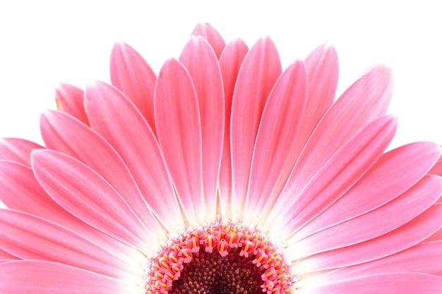 Gerbera di fiori