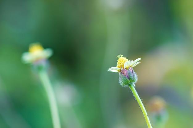 Fiore di erba nello sfondo naturale verde alla foresta tropicale. sfondo naturale vintage primo piano e copia spazio.
