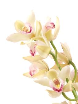Fiore di orchidea
