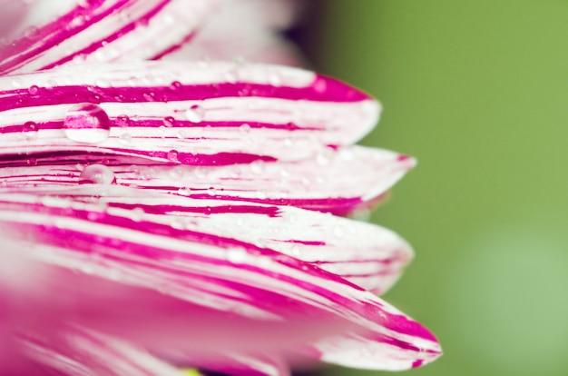 Fiorisca i petali con la macro del primo piano delle goccioline di acqua, fuoco selettivo
