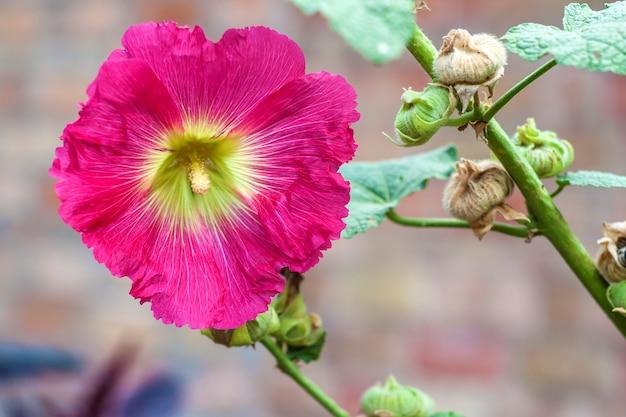 Fiore del primo piano rosa della malva su fondo verde