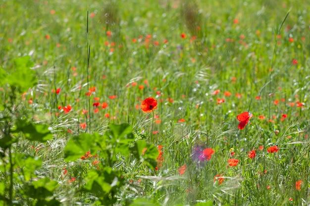 Fiore di papavero in fiore su sfondo naturale
