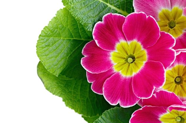 Fiore primula vulgaris con boccioli in fiore isolati