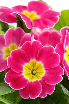 Fiore primula vulgaris con boccioli in fiore.