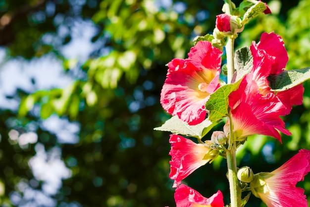 Fiore del primo piano della malva rossa sugli alberi e sul fondo vaghi del cielo