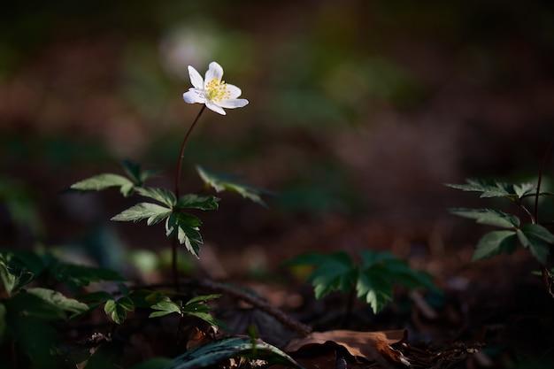 Esemplare di fiore anemonoidi nemorosi nel bosco