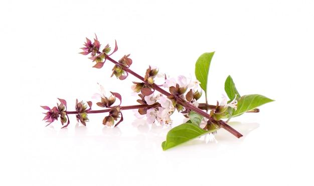 Fiore dolce basilico isolato su bianco