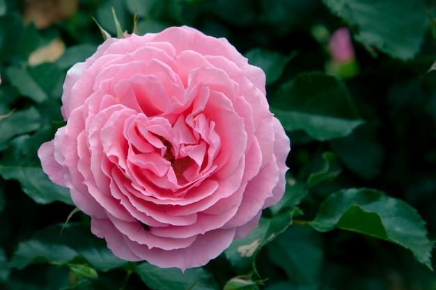 Fiore di una rosa tenera rosa in giardino.