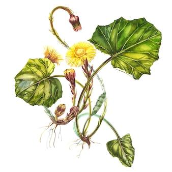 Fiore tussilago farfara. illustrazione botanica dell'acquerello disegnato a mano.