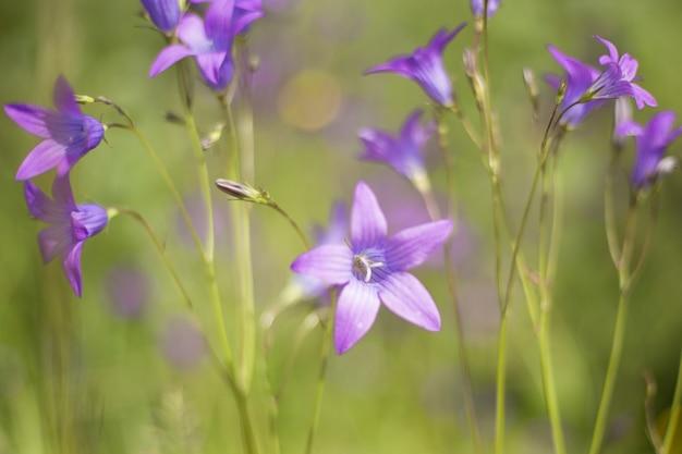 Fiore di una campanula rampion selvatica. il suo nome latino è campanula portenschlagiana syn campanula muralis