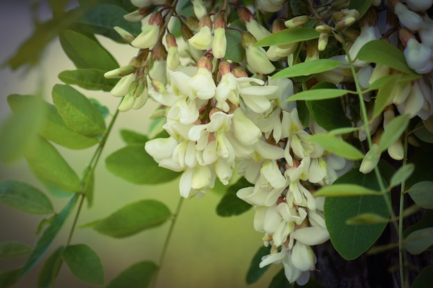 Acacia in fiore